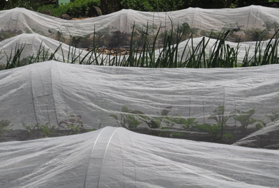 Row covers for brassica
